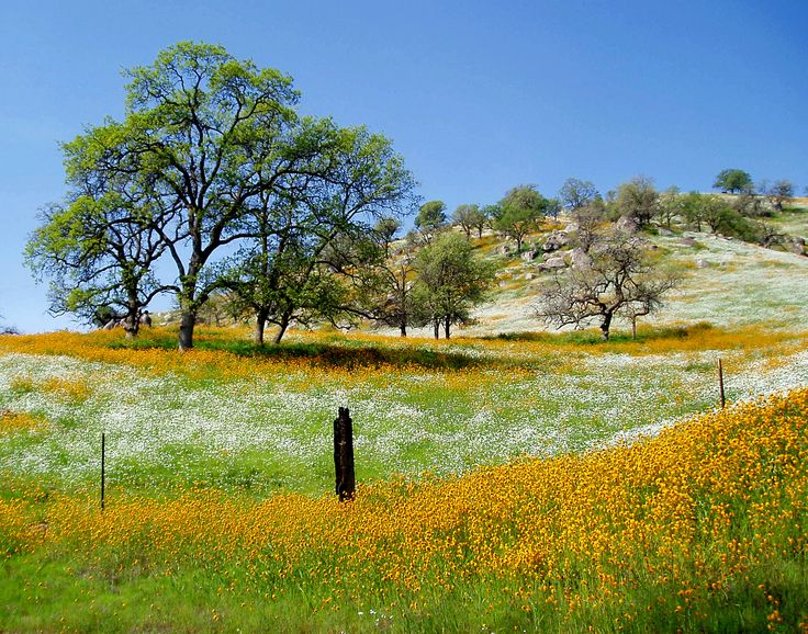 Spring wildflowers central valley California, our golden California