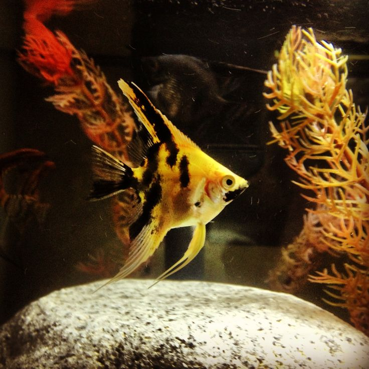 1000 images about tropical angelfish on pinterest live for Petsmart fish guarantee