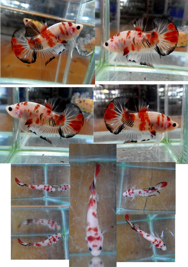 Everyone knows about enchanting koi fish that whimsically for Pet koi fish for sale