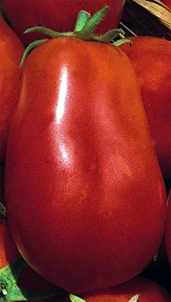San Marzano Tomatoes - How to Grow and Care for San Marzanos