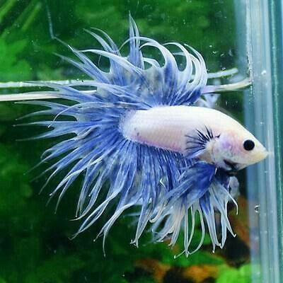 really nice male betta