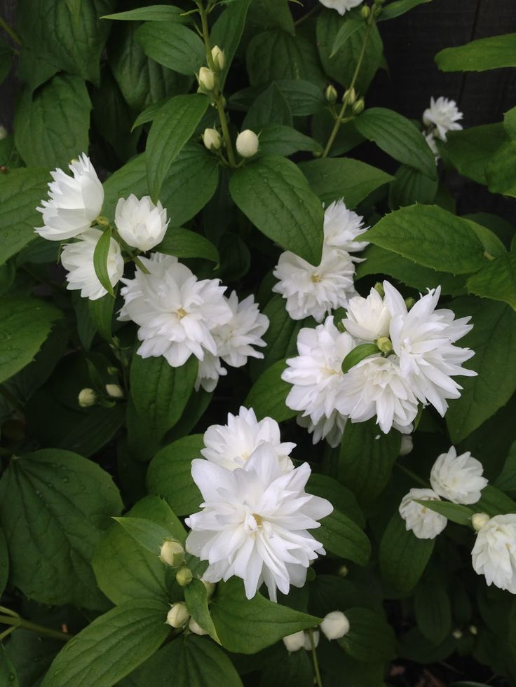 The 25 best ideas about mock orange on pinterest white for White flowering bush