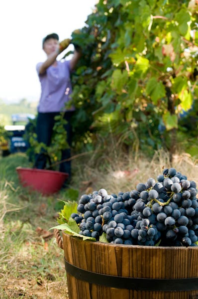 We choose very carfully our #grapes #umbertocesari #wine #vineyards