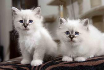 Sacred Birman Kittens, Cattery Sint Agatha's, The Netherlands
