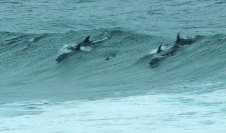 Dolphins in surf off Amanzimtoti