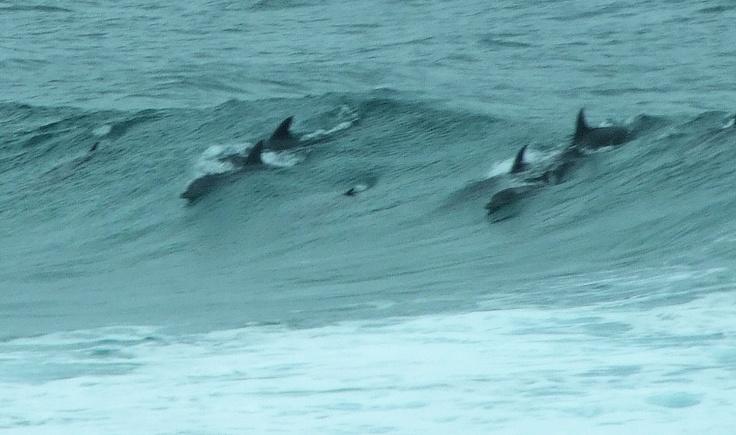 Dolphins in surf off Amanzimtoti