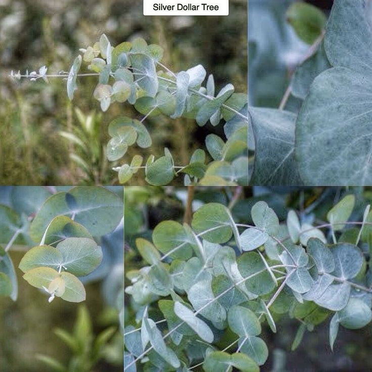how to grow silver dollar eucalyptus