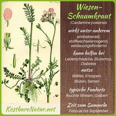 Wiesen-Schaumkraut