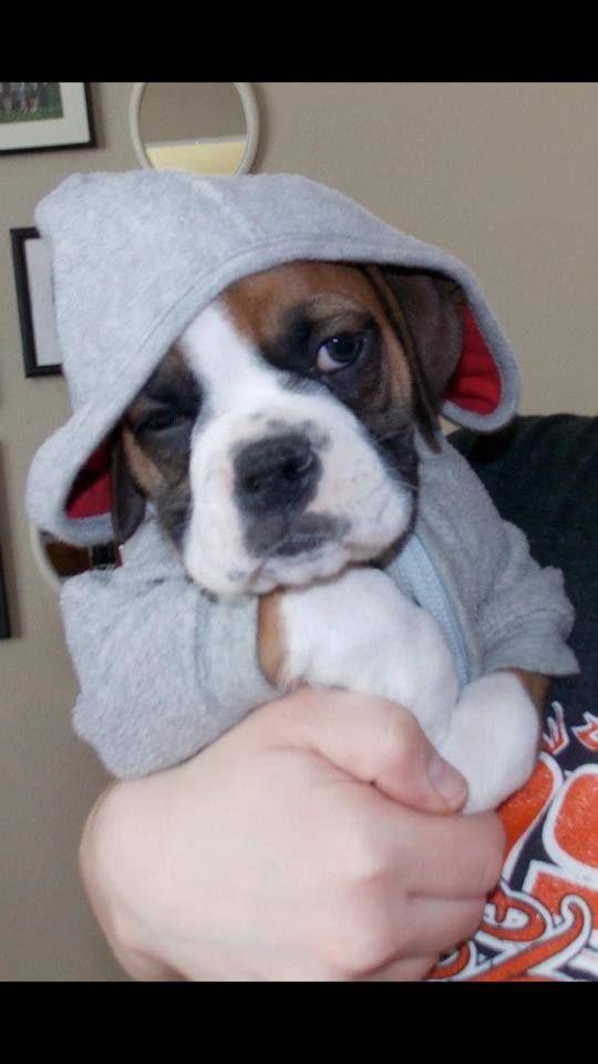 Awwww itty, bitty boxer in a hoodie!