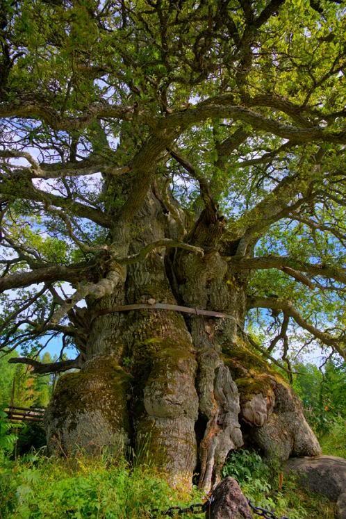 Ancient Kvilleken Oak, Sweden