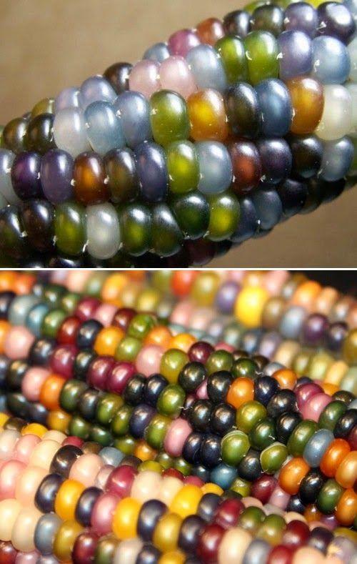 Glass gem corn seeds -- yes, this is actual corn! #Organic Gardening - 101 Gardening