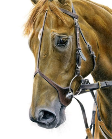 Thoroughbred Horse in coloured pencil