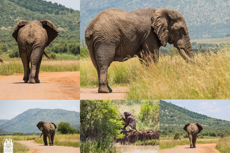 http://ift.tt/2spCdwv - Without the presence of dominant male elephants juvenile elephants of Pilanesberg bullied rhinos and female elephants until fully grown male elephants were introduced to quell the bad behavior.