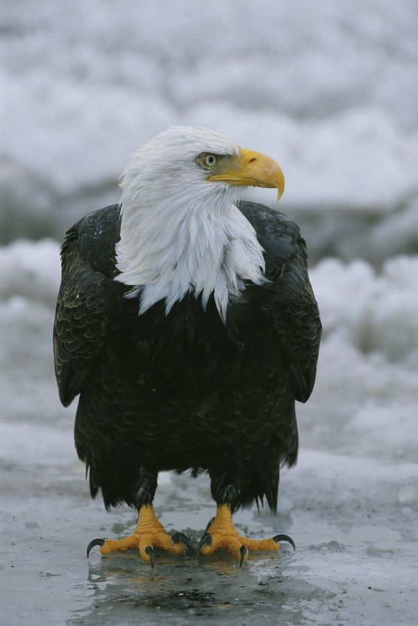 Exotic Birds For Sale >> An American Bald Eagle Stands   An, Stand on and In canada