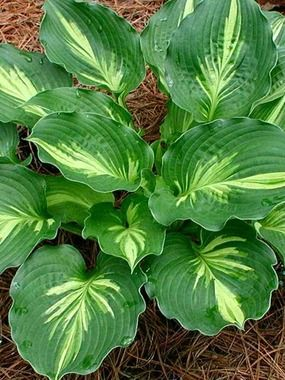 "Hosta Lakeside Paisley Print Funkia, Plantain Lily Type: Perennials Height: Short 10"" (2' in flower) (Plant 20"" apart) Bloom Time: Summer to Late Summer Sun-Shade: Mostly Sunny to Full Shade Zones: 3-8 Find Your Zone Soil Condition: Normal, Acidic"