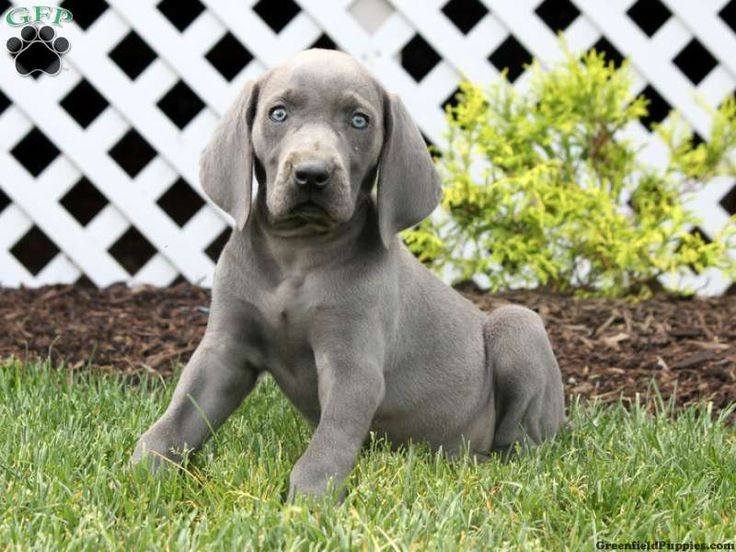Tulip the Weimaraner #greenfieldpuppies