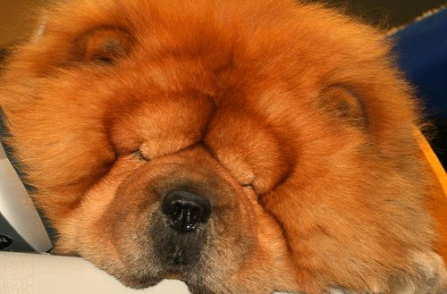 Sleepy Fluffy Chow Chow    Please like and repin!