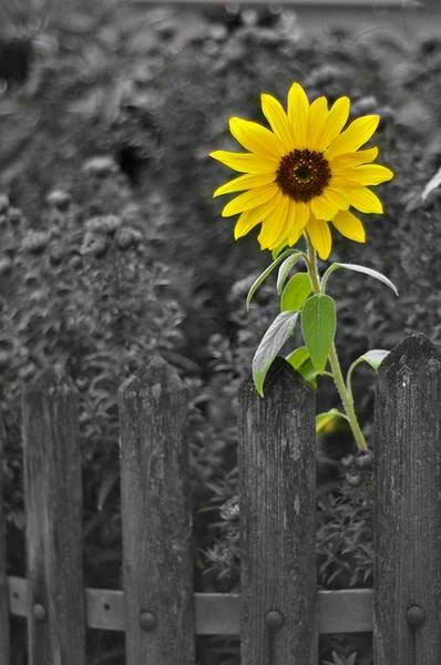 -color splash photography~Sunflowers and spiritualism have long been linked together. Spiritualism is a belief that centers on a continuous life, a life that lives on even after death, even with the absence of a physical body. The core of Spiritualism is the essence of a person, or our consciousness, which does not die.