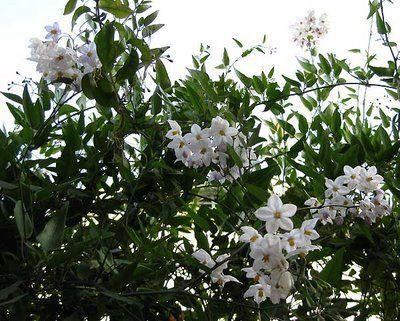 This is Solanum jasminoides (white potato vine). Resembles Jasmine--blooms longer