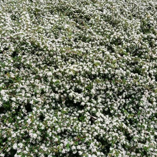 jardins plantas rasteiras: Plantas Rasteiras no Pinterest