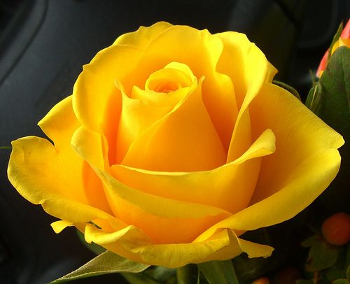 ɛïɜ Yellow Roses ɛïɜ