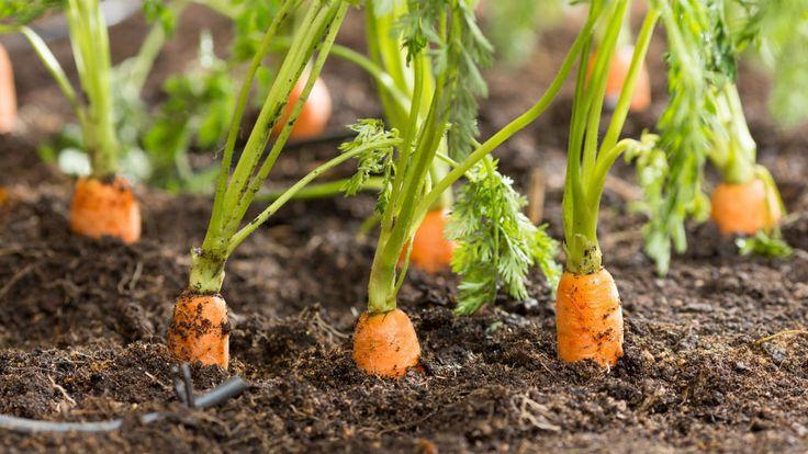 Семь способов посадки моркови   Урожайный огород Татьяны   Яндекс Дзен