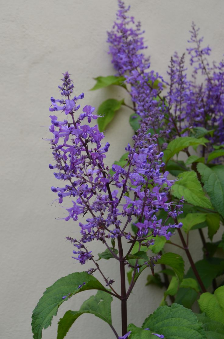 #Plectranthus from my dad in our Cordwalles garden. By Rosemary Hall #purple