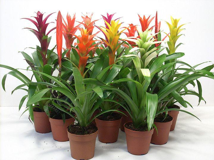 Bromélia = A planta traz tons de cores complementares: vermelho que entra em contraste com verde escuro. A luminosidade deve ser indireta, já que a incidência contínua da luz do sol queima a folhagem. Precisa de irrigação frequente, a cada dois dias.