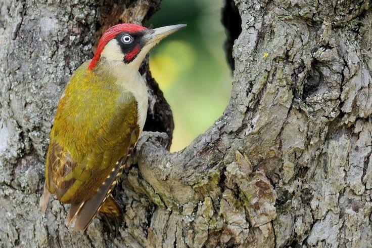 Vogel des Jahres 2014: Der Grünspecht (Picus viridis)