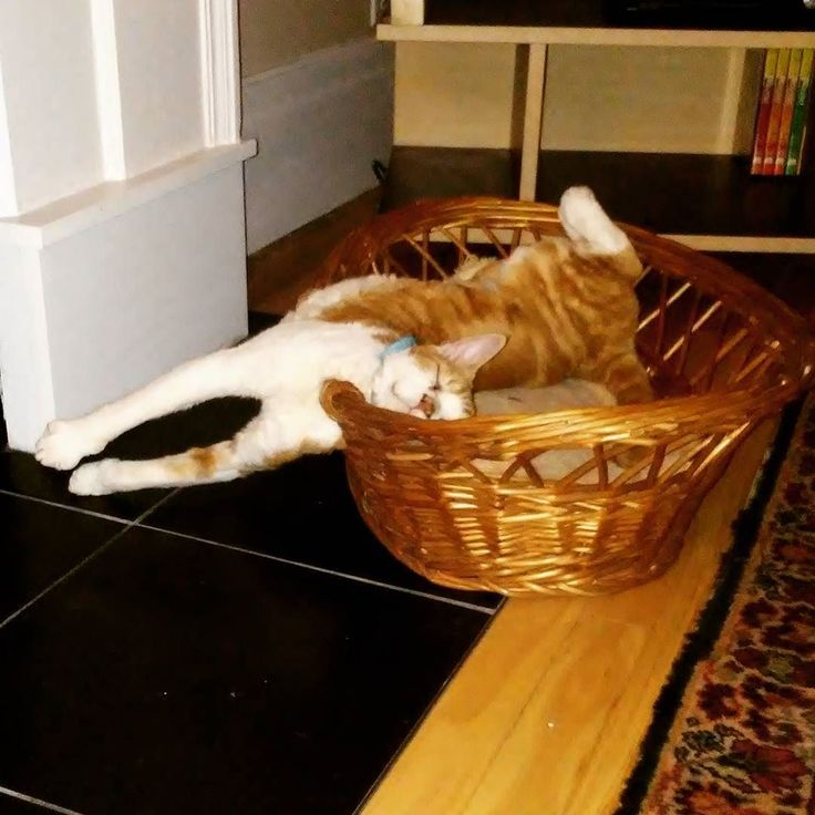 Trying to get comfy! Life is hard! #InstaTags4Likes #cat #cats #kitten #kittens #catsagram #catstagram #instagood #pet #pets #animal #animals #petstagram #petsagram #photooftheday #catsofinstagram #ilovemycat #instagramcats #catoftheday #caturday #lovecats #lovekittens #adorable #catlover #instacat #tortie #oriental #tw #pin #funny