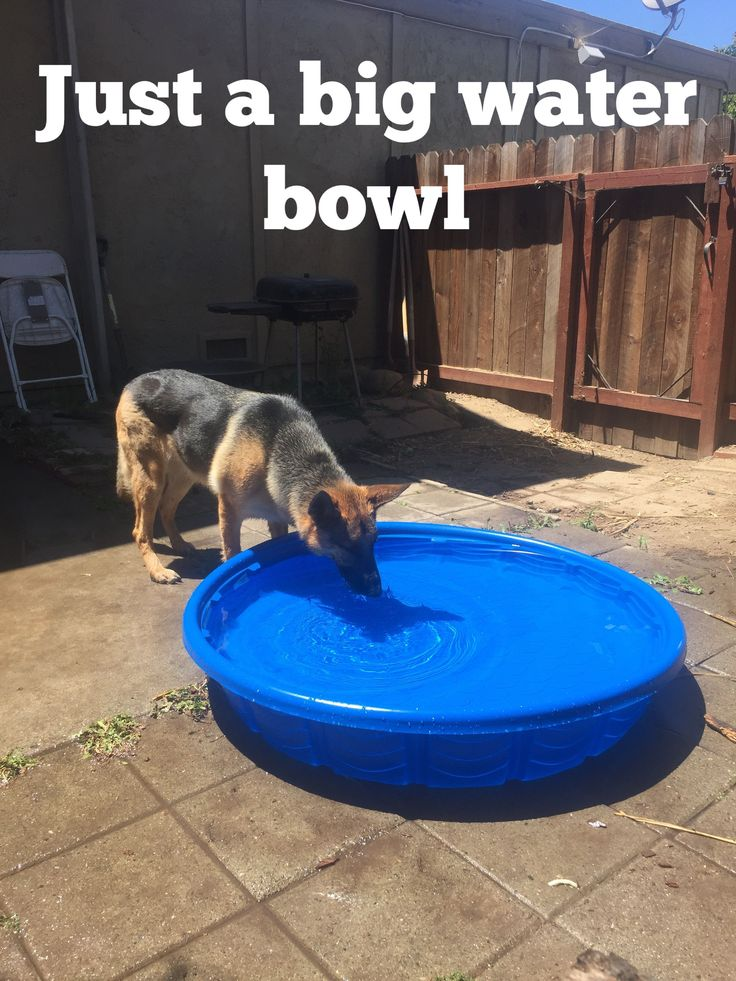 Some GSD's love the water, some just like to drink it.