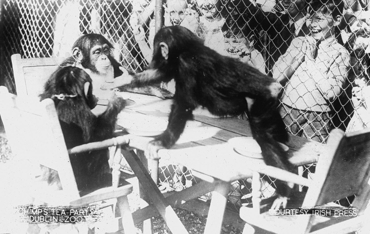 Chimpanzee tea party from the1950's