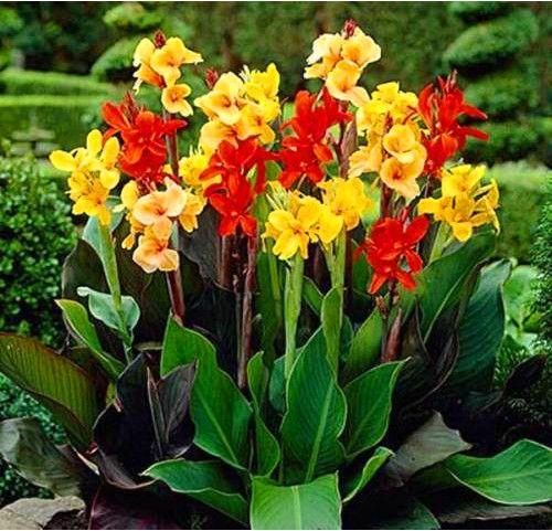 10 peças de bonito pétalas de flor Canna de jardim de AA(China (Mainland))