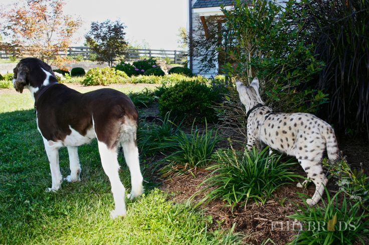 Savannah Cats - Color, diet, temperament, price.