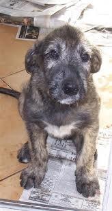 An Irish Wolfhound puppy