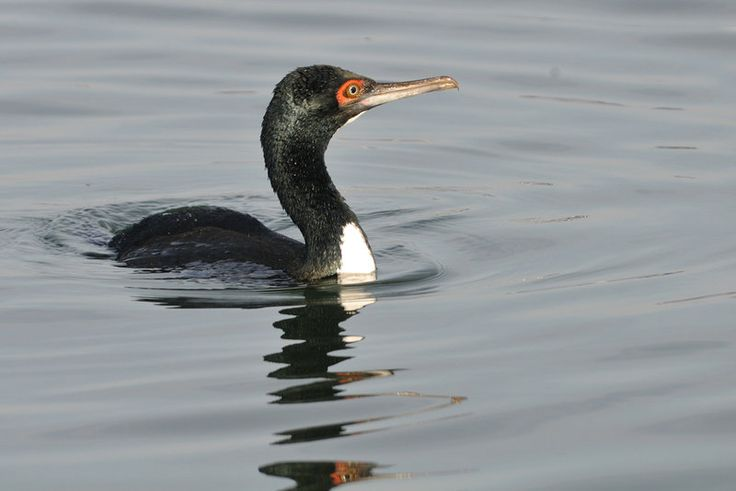 Guanay cormorant (Phalacrocorax bougainvillii) | Cobquecura (VIII), Quintero (V), Chile