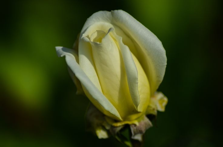 """The White Rose - Press M for better view.  """"I'D RATHER HAVE ROSES ON MY TABLE THAN DIAMONDS ON MY NECK"""".  Emma Goldman."""
