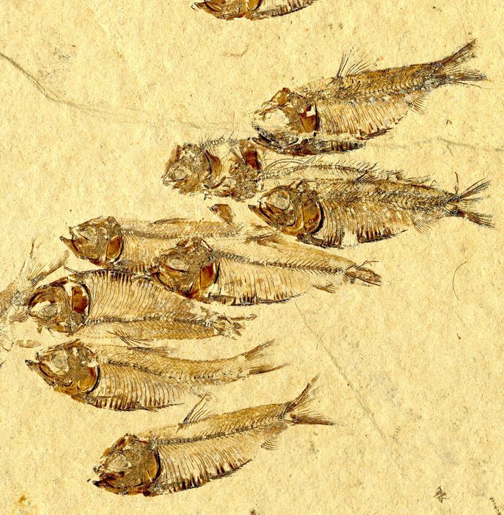 Fossil herrings from the Eocene Green River Formation of the western United States where Colorado, Utah and Nevada meet. Photo by Matt Friedman.