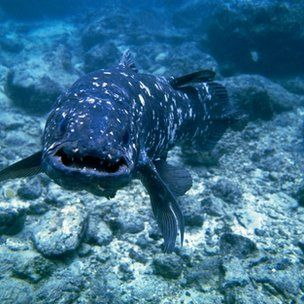 'Living fossil' coelacanth genome sequenced - One of my favorite 'fossil' stories.