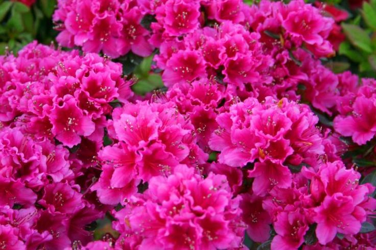 dwarf azaleas - encore autumn sundance or encore autumn rouge front flower bed
