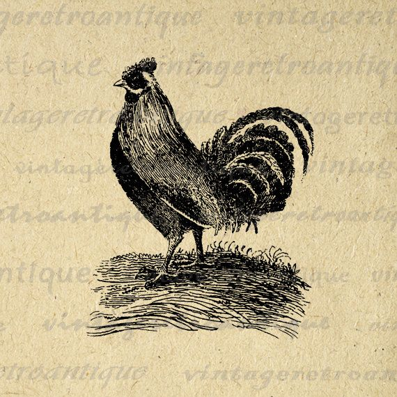 Printable Antique Rooster Image Download Illustration Graphic Chicken Digital Vintage Clip Art. High resolution, high quality digital illustration from antique artwork for printing, transfers, and more. Great for etsy products. This digital graphic is high quality at 8½ x 11 inches large. Transparent background version included with every graphic.