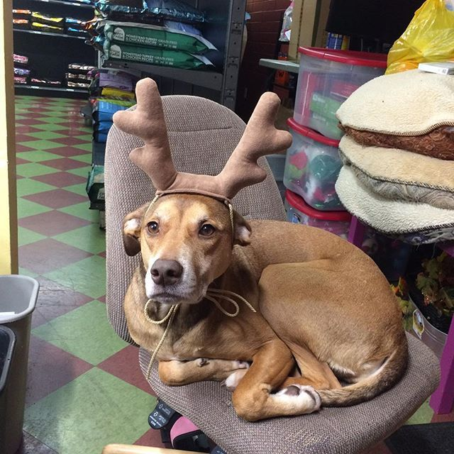 Christmas toys, apparel and gifts are now at Dooley's!  #christmas #reindeer #kirkland #seattle #bellevue #bothell #kingcounty #petstore #dog
