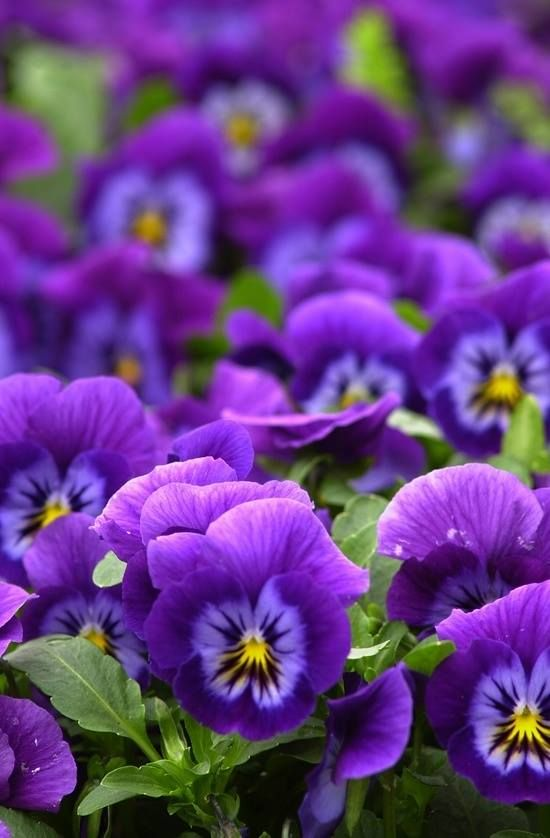Purple pansies..