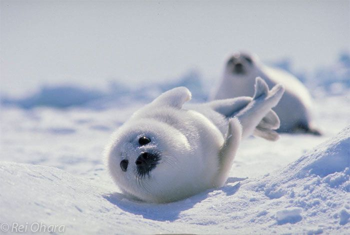 seal baby harp アザラシの赤ちゃん