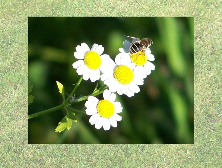 Calendar pix - July 2013 Feverfew and a solitary bee - absolutely Summer.