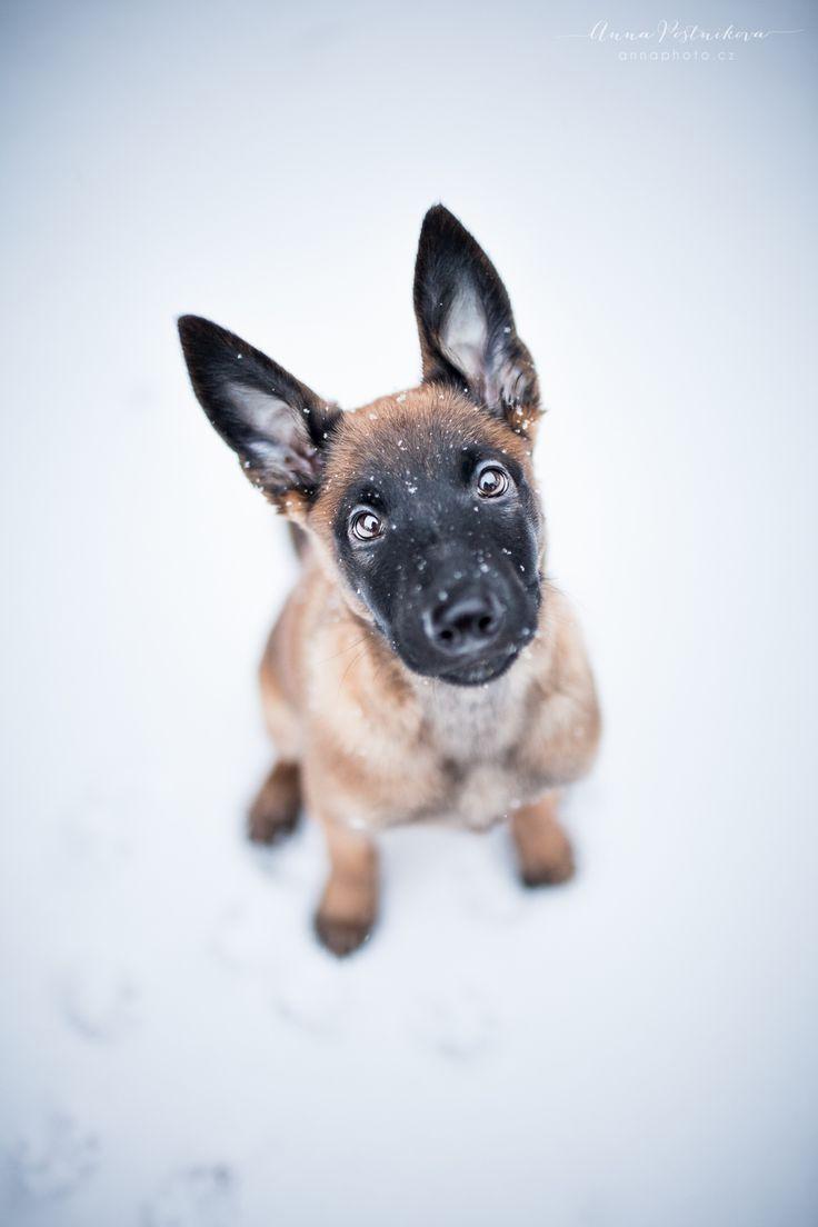 Puppy in snow - Belgian shepherd malinois puppy, Free Ostraryka, 2 months  http://facebook.com/annaphoto.cz