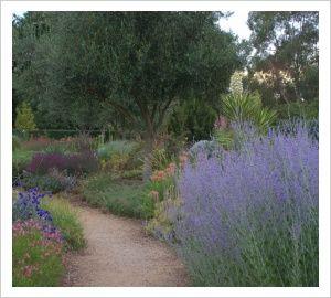 Perovskia atriplicifolia 'Little Spires' | Lambley Nursery 100 x 30 best planted in groups summer autumn.