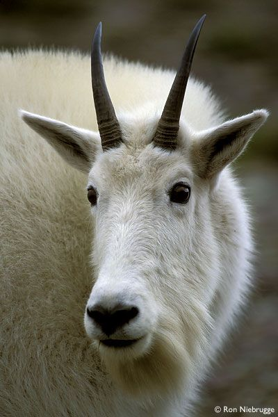 Mountain Goat in Glacier National Park, Montana http://www.pinterest.com/halinalis/animals/