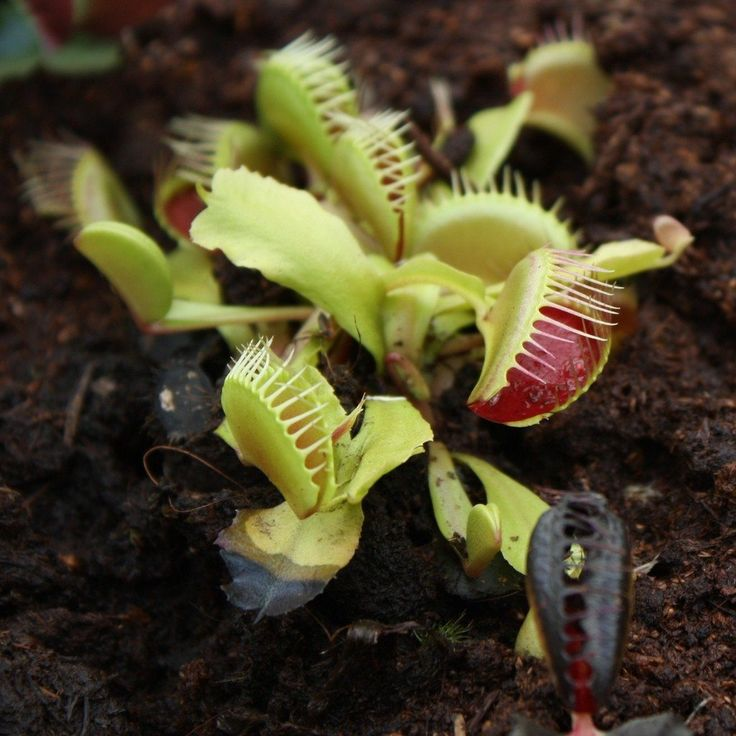 Grow A Venus Fly Trap How To Care For A Venus Fly Trap