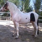 precioso poni de salto en venta en Castilla-La Mancha HE33074A6